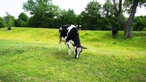 母牛风景 免版税库存照片