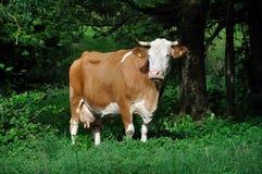 母牛飞行牧场地 库存照片