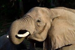 母牛饮用的大象 免版税图库摄影