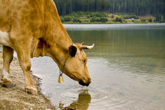 母牛饮用的湖 免版税库存图片