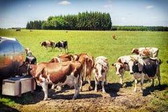 母牛饮用水牧群  农业概念 库存照片
