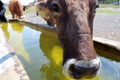 母牛饮用水 免版税图库摄影