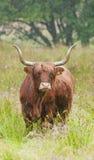 母牛高地停泊苏格兰人 库存图片