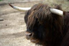 母牛高地居民苏格兰人 免版税库存照片