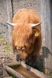 母牛高地纵向 免版税库存照片