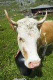 母牛高牧场地瑞士 库存照片