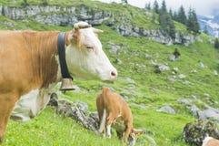 母牛高牧场地瑞士 库存图片