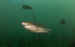 母牛鲨鱼或七片鳃鲨鱼 库存照片