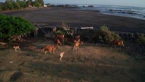 母牛鸟瞰图吃草在黑海滩和海在巴厘岛 影视素材