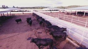 母牛鸟瞰图和公牛在大被操刀的畜栏漫游在动物农田中 影视素材