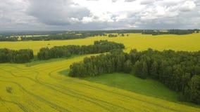 母牛鸟瞰图在牧群的在有多云天空蔚蓝的一个绿色牧场地在夏天 影视素材