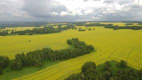 母牛鸟瞰图在牧群的在有多云天空蔚蓝的一个绿色牧场地在夏天 股票录像