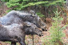 母牛麋和她的小牛在阿尔根金族公园 免版税库存图片