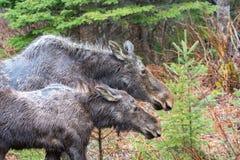 母牛麋和她的小牛在阿尔根金族公园 免版税图库摄影