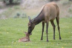 母牛麋和新出生在春天 免版税图库摄影