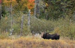 母牛麋在阿尔根金族公园 免版税库存图片