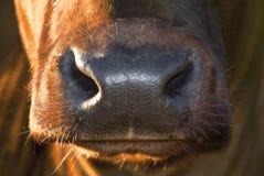 母牛鼻子 库存图片