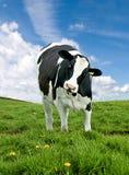 母牛)弗里斯兰奶牛 图库摄影