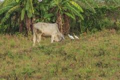 母牛,与搜寻动物的肥沃kawatuna谷 免版税图库摄影