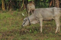母牛,与搜寻动物的肥沃kawatuna谷 图库摄影