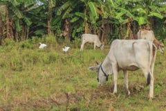 母牛,与搜寻动物的肥沃kawatuna谷 库存图片