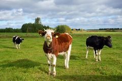 母牛,在牧场地的三头母牛 库存照片