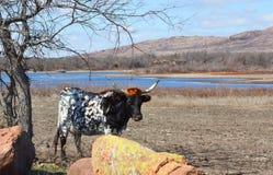 母牛,自然,俄克拉何马 免版税库存图片