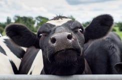 母牛,面孔接近  库存图片