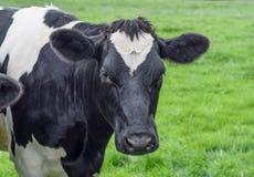 母牛,面孔接近  库存照片
