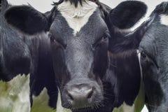 母牛,面孔接近  免版税库存图片