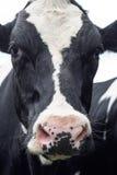 母牛,面孔接近  免版税图库摄影