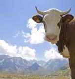 母牛, hereford牛在法国阿尔卑斯 免版税库存照片