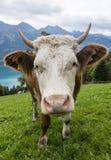 母牛头在草甸 免版税库存图片