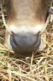 母牛鼻子 图库摄影