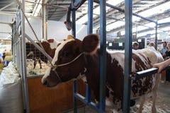母牛-悉尼皇家复活节展示 库存图片