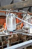 母牛-挤奶厅 库存照片