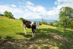 母牛 明亮的星期日 天空 瀑布 carpathians 山 星期日 免版税图库摄影