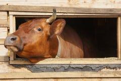 母牛从棚子的窗口看  图库摄影