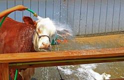 母牛洗涤 免版税库存图片
