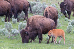 母牛水牛牧群与新出生的 库存图片