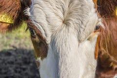 母牛头的特写镜头 免版税图库摄影