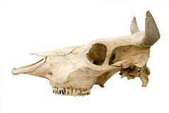 母牛头盖骨s 库存图片