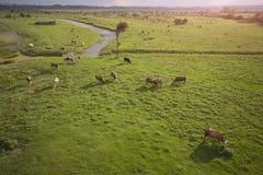 母牛绿色草甸 免版税库存图片