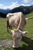 母牛 库存照片