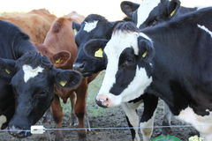 母牛– 19 图库摄影