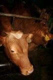 母牛 免版税库存照片