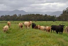 组母牛 免版税图库摄影