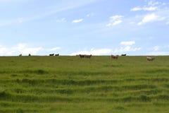 组母牛 免版税库存照片