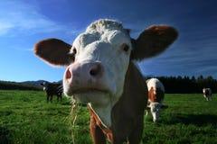 母牛 免版税图库摄影