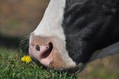 母牛` s嘴 潮湿鼻孔家养的牛 免版税库存图片